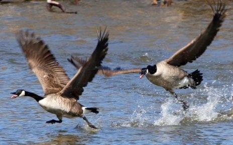 Bernaches en vol dans le parc des Rapides