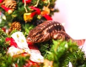 Téju de Noël