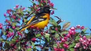 Oriole de Baltimore - Oiseaux du parc des Rapides