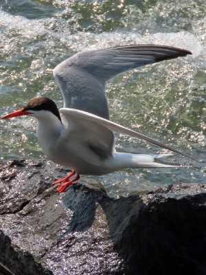 Sterne pierregarin (Oiseaux du parc des Rapides)