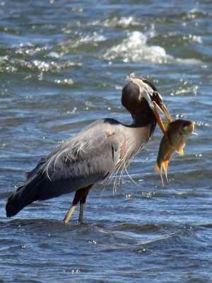 Grand Héron (Oiseaux du parc des Rapides)
